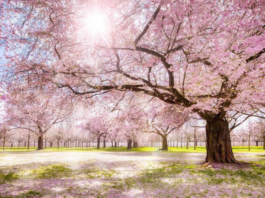 Japanisches Kirschblütenfest Hamburg 2020